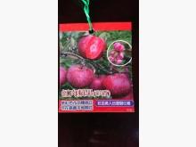 [9成新] 紅肉蘋果嫁接苗/請先來電詢價花苗/樹苗無破損有使用痕跡