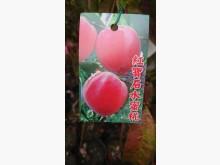 [9成新] 紅寶石水蜜桃嫁接苗/請先來電詢價花苗/樹苗無破損有使用痕跡