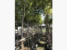 [7成新及以下] 各種行道樹景觀樹/現場挑選與報價花苗/樹苗有明顯破損