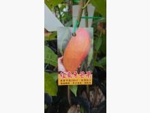 [9成新] 紅象牙芒果嫁接苗/請先來電詢價花苗/樹苗無破損有使用痕跡