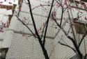 陽台外冬天的櫻花