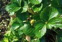 開心農夫種的有機無毒草莓