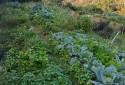 開心農夫種菜的菜股
